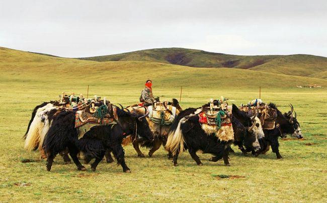 Người chăn bò Tây Tạng