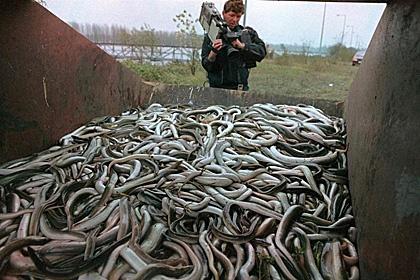 Lươn chết trên sông Rhein