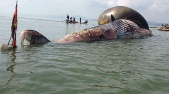 Cá voi chết 27 05 2016
