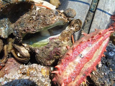 Các thợ lặn phát hiện hàu, vẹm, hải sâm... chết nhiều dưới đáy biển Quảng Bình, đang trong quá trình phân hủy (Ảnh: Đặng Tài)